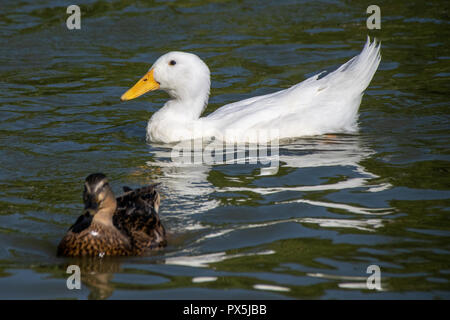 Feeding bread and duck feed pellets to a flock of wild mallards and white heavy Long Island American Pekin Ducks on a park lake - Stock Photo