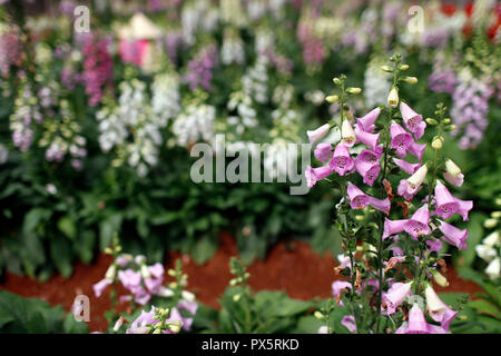 Organic hydroponic vegetable farm.  Flowers rows in greenhouse. Snapdragons.  Dalat. Vietnam. - Stock Photo
