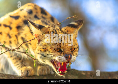 Closeup of Serval very angry on a tree in nature habitat. The scientific name is Leptailurus serval. The Serval is a spotted wild cat native to Africa. Blurred background. - Stock Photo