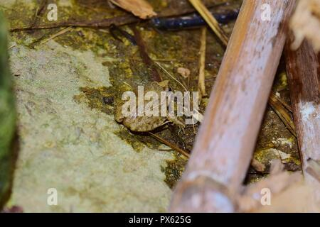 A juvenile Mediterranean Painted Frog, Discoglossus pictus, on a stone and near a water pond in a Maltese valley, brown skin and spotted Malta - Stock Photo