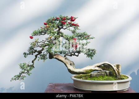 Curved bonsai tree with red fruits on a table against a white wall - Stock Photo