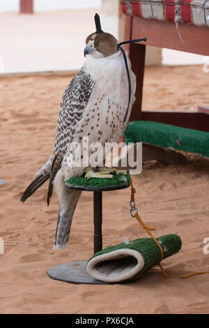 Arabian falcon with head cover - Stock Photo