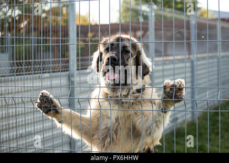 caucasian shepherd dog behind dog shelter bars - Stock Photo