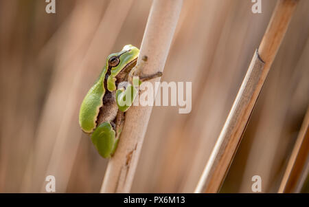 The European tree frog is a small tree frog found in Europe, Asia and part of Africa. - Stock Photo