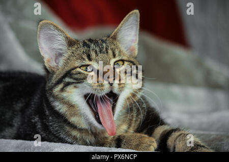 small mongrel striped kitten is lying on its stomach, front paws are extended, the mouth is wide open, tongue is stuck out, eyes slanting, funny look, - Stock Photo