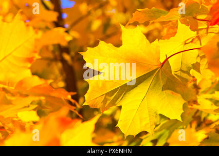 bright colorful maple leaves background in the autumn - Stock Photo
