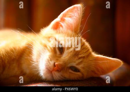 Ginger mackerel tabby kitten in soft focus