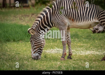 Grevy's Zebra (Equus grevyi) grazing in it's enclosure in a zoo - Stock Photo