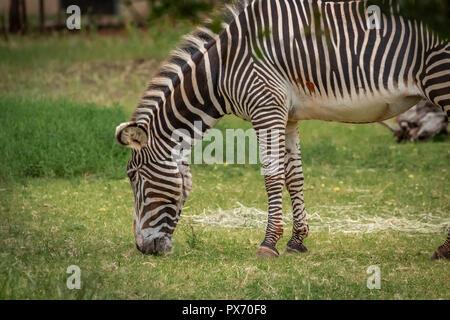 Grevy's Zebra (Equus grevyi) grazing in it's enclosure in a zoo - Stock Photo