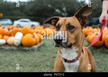 Fall fun with a dog in a pumpkin patch. Attention caught by squirrel right as it was starting to rain. Crop for vertical portrait. Pumpkin background - Stock Photo