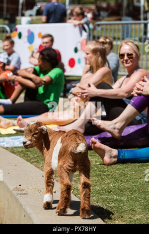 Suwanee, GA, USA - April 29, 2018:  A baby goat walks in front of women stretching in a goat yoga event at a public park on April 29, 2018. - Stock Photo