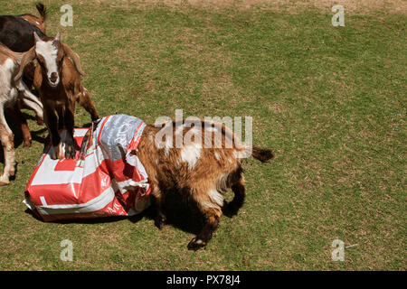 Suwanee, GA, USA - April 29, 2018:  A goat buries his head in a bag of goat feed while another goat stands on the bag, at a goat yoga event. - Stock Photo