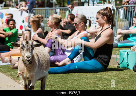 Suwanee, GA, USA - April 29, 2018:  A goat stands among women stretching in a goat yoga event at a public park on April 29, 2018 in Suwanee, GA. - Stock Photo