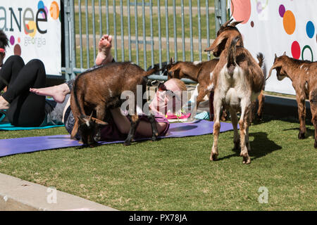 Suwanee, GA, USA - April 29, 2018:  Goats gather around a woman stretching in a free goat yoga class at Suwanee Towne Park on April 29, 2018. - Stock Photo