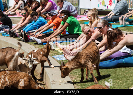 Suwanee, GA, USA - April 29, 2018:  Goats walk among people stretching in a free goat yoga event at Suwanee Towne Park on April 29, 2018. - Stock Photo