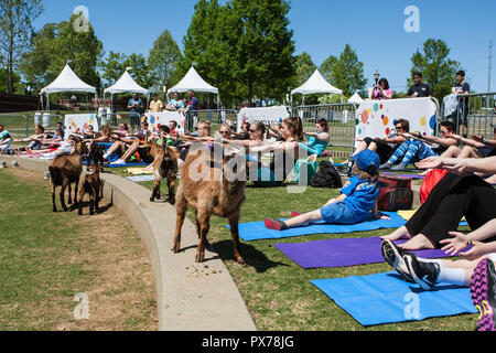 Suwanee, GA, USA - April 29, 2018:  Goats walk in front of people stretching in a free goat yoga class at Suwanee Towne Park on April 29, 2018. - Stock Photo