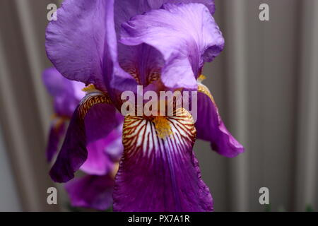 Close Up Royal Purple Iris Photo: taken in a backyard garden, this picture would look great on calendars, cards, or anything else. - Stock Photo