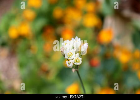 A Single White Flower stands out against a Sea of Orange: this lone Flower would look great on Calendars and Cards - Stock Photo