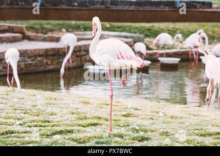 flamingo isolated on white background - Stock Photo