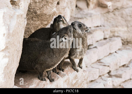 A Rock Hyrax, otherwise known as a Cape Hyrax and a Dassie, in South Africa - Stock Photo