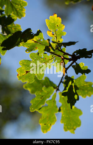Oak leaves, Quercus robur,  in October in afternoon light in the New Forest Hampshire England UK GB - Stock Photo