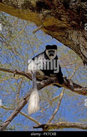 Adult Colobus monkey Colobus guereza occidentalis Elsamere Naivasha Kenya 2018 - Stock Photo