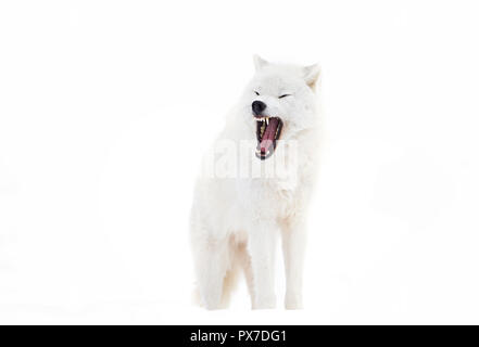 A lone Arctic wolf (Canis lupus arctos)  bark isolated on white background in Canada - Stock Photo