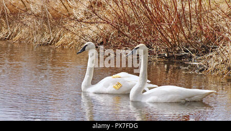 Mating pair of Wild Trumpeter Swans swimming at Marsh.  One swan has been tagged with an Identification Number - Stock Photo
