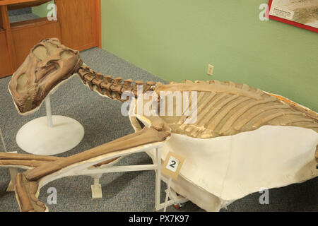 dinosaur display at phillips county museum in malta, montana - Stock Photo