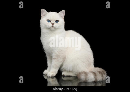 Playful British White Cat, with blue eyes, Sitting on Isolated Black Background, side view - Stock Photo