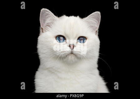 Portrait of British White Cat with adorable blue eyes on Isolated Black Background, front view - Stock Photo