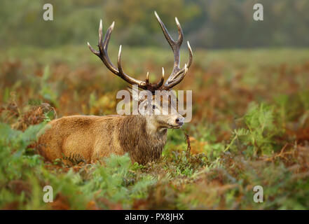 Close up of a red deer with vegetation on antlers during rutting season, UK. - Stock Photo