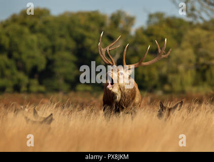 Red Deer stag bellowing while standing in the field among a group of hinds during rutting season, UK. - Stock Photo