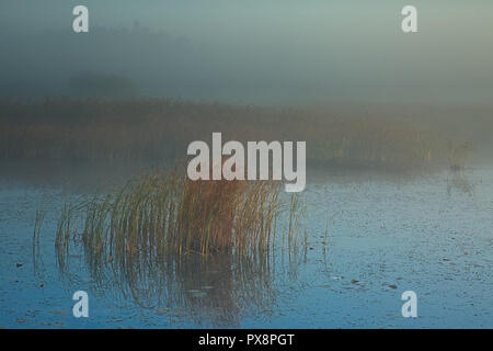 Thick autumn fog envelops a mid-forest lake with clumps of reeds at dawn.October, poland in autumn.Horizontal view - Stock Photo