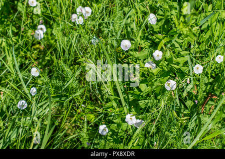 Convolvulus of the field (Convolvulus arvensis). White flowers loach. Summer. - Stock Photo