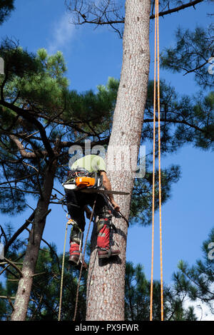 Professional woodcutter into action near a house. The felling of high pine trees necessitates at first the pruning of their branches and then the cutt - Stock Photo