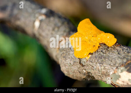 Yellow Brain Fungus (tremella mesenterica), close up of the fruiting body growing from the branch of a fallen tree. - Stock Photo