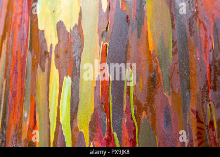 Eucalyptus bark texture abstract background, Kauai, Hawaii, USA. Close-up - Stock Photo