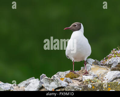 Black-Headed Gull (Chroicocephalus ridibundus) perched on rocks looking to the side in Spring in the UK, with copy space. - Stock Photo