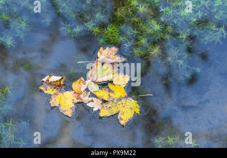 Several dead fallen leaves floating in water after with reflecting sky at the start of Autumn in the UK. Autumn colours concept. - Stock Photo