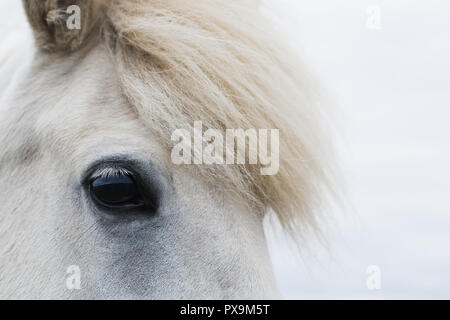 Close-up of Icelandic white horse with the fucus on the eye - Stock Photo