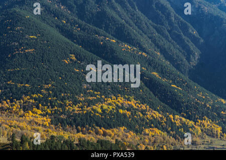 Forest mountain slope covered with evergreen forest and yellow trees in autumn. Calm landscape with coniferous and yellow trees, landscape for travel  - Stock Photo