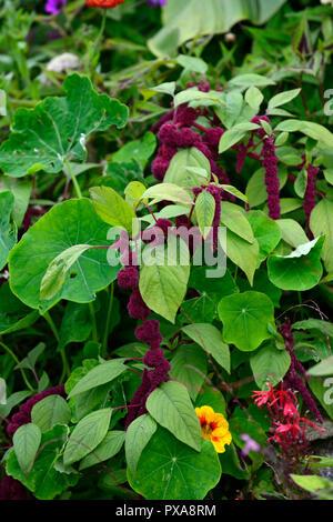 Amaranthus caudatus,love lies bleeding,flowers,flower,bloom,blossom,red,purple, inflorescence,leaves,foliage,RM Floral - Stock Photo