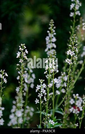 Asphodelus albus,White-flowered asphodel,starry white flowers,spike,spire,flowering,perennial - Stock Photo