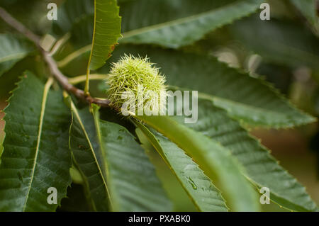 Edible chestnut in its prickly shell, fallen from the tree to the ground or still hanging from the chestnut tree. - Stock Photo