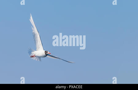 Mediterranean gull in flight over the sea - Stock Photo