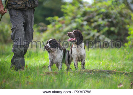 Two liver English Springer Spaniel with hunter in a field - Stock Photo