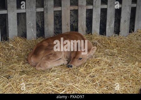 A sleeping cow - Stock Photo