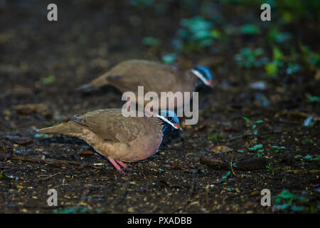 The endemic, highly endangered Blue-headed Quail-Dove (Starnoenas cyanocephala) can frequently be seen near Bermejas very early in the morning. Zapata - Stock Photo
