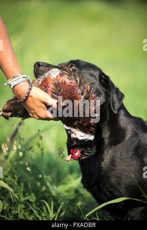 Black Labrador is delivering pheasant on his handler's hand - Stock Photo